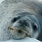 Leopard seal resting on an ice floe, King Haakon Bay, South Georgia DSC05465