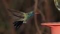 Humming Birds0006