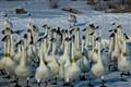 Cluster Flock