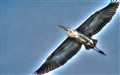 Blue Heron HDR