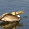 2-20-14 #365 #2 huntington pelican eating (1 of 1)