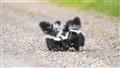 A little Skunky