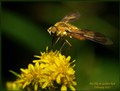 Bee Fly on Golden Rod