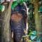 Elephant Borneo 04