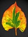 Leaf Scan