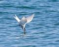 Kamikaze Arctic Tern