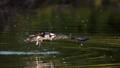 Osprey leaving water