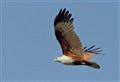 Kite- a Brahminy Kite