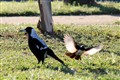 Willie Wagtail Attacks an Australian Magpie