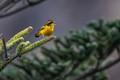 Golden bush robin.