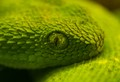 Eye of a Deadly Viper!