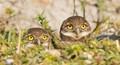 Owlets Peeking