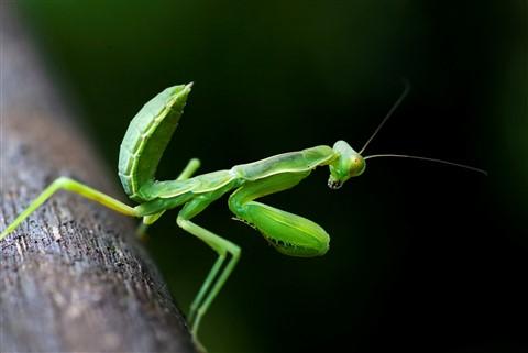 DPReiew Mantis