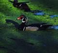 Moody Duck