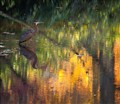 Blue Heron, Bass Pond