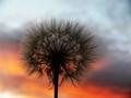 Sunset seedhead