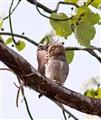 Defending the nest from a predator
