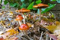 Toadstools in the Leaf Litter