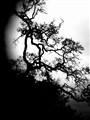Dry Oak