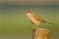 A singing Common Whitethroat