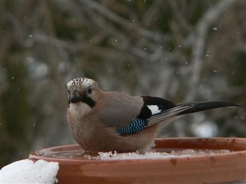 Blue jay bathing in winter