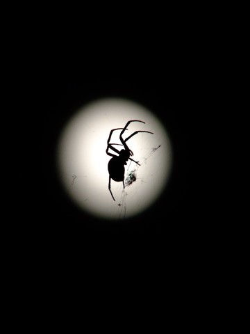 Full Moon Spider