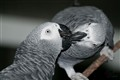 The Kiss (African Grey Parrot)