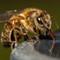 Honey Bee-022357
