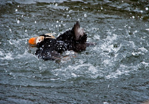 Splashing Puffin
