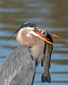 Great Blue Heron with a Trout