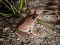 Rainforest 'Tiger' frog