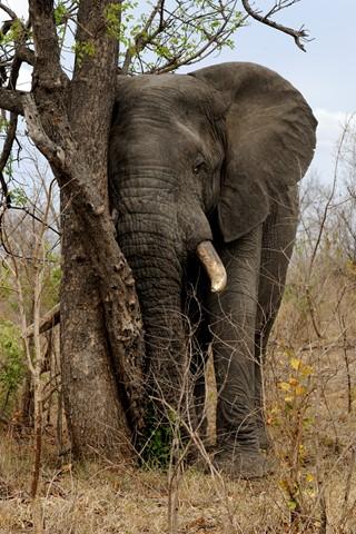Elephant and tree-2