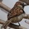 Sparrow web crop