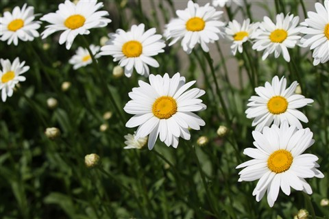 coming.up.daisies