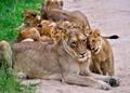 Lions´kindergarten Krugerpark, ZA