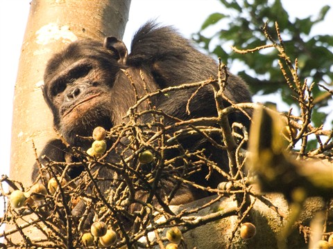 Nyunwe_Chimp_2_1
