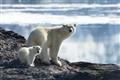 Polar bear, Liefdefjorden