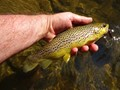 Fat Brown Trout