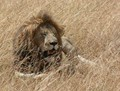 Lion Resting in Maasai Mara National Reserve, Kenya