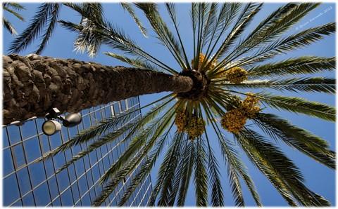 Date palm (Phoenix dactylifera - Arecaceae) against windows of a sky scraper
