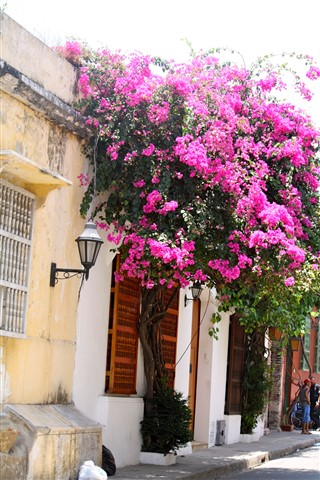 Cartagena old city looking Bouganville