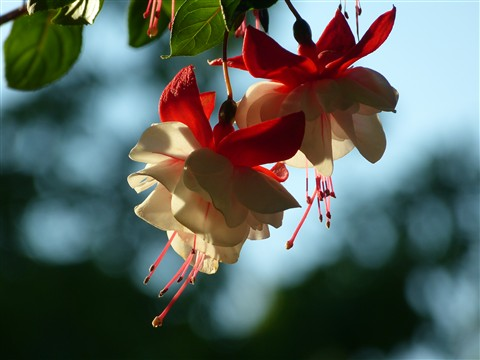Trailing Fuchsia - Swingtime variety
