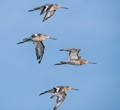 Formation of Godwits