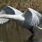 A77 Beautiful Swan in flight on Killingworth small lake, 5/2013