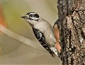 Downy woodpecker DPR