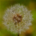 Dandelion and Bokeh