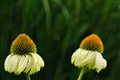 Twin Coneflowers