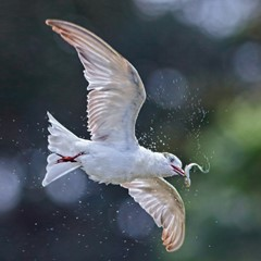 Tern with Catch