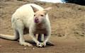 albino kangeroo