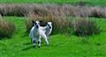 Lakeland Lambs
